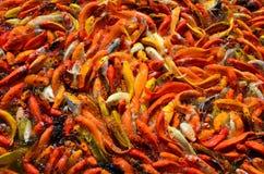 食物的繁忙的拥挤饥饿的五颜六色的Koi鱼或花梢鲤鱼群 图库摄影