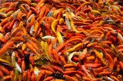 食物的繁忙的拥挤饥饿的五颜六色的Koi鱼或花梢鲤鱼群 免版税库存图片