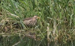 食物的罕见的一点苦汁Ixobrychus minutus狩猎在芦苇在英国 库存图片