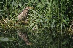食物的罕见的一点苦汁Ixobrychus minutus狩猎在芦苇在英国 免版税库存图片