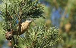 食物的美好的五子雀五子雀类europaea狩猎高在杉树 免版税库存照片