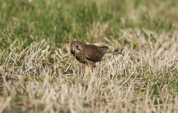 食物的美好的茶隼游隼科tinnunculus狩猎在草的地面上 免版税图库摄影