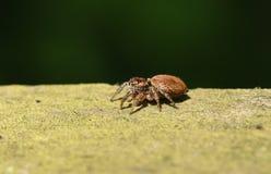 食物的逗人喜爱的跳跃的蜘蛛Evarcha falcata狩猎在木篱芭 库存照片