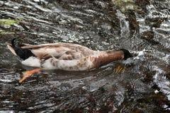 食物的鸭子潜水在池塘 免版税库存照片