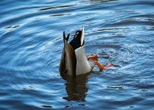 食物的鸭子狩猎在池塘 库存照片