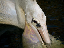 食物的鹈鹕渔 免版税库存照片