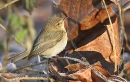 食物的Chiffchaff Phylloscopus collybita狩猎在下木在一个冷淡的冬日 免版税库存照片