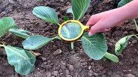 食物科学家检查圆白菜化学制品和杀虫剂 r 环境友好的产品 果树栽培学 A 股票录像