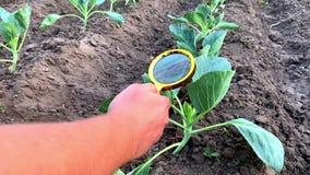 食物科学家检查圆白菜化学制品和杀虫剂 r 环境友好的产品 果树栽培学 影视素材