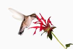 食物蜂鸟 免版税库存照片