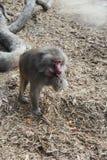 食用的狒狒快餐 免版税库存照片