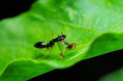 食用的螳螂快餐 库存照片