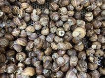 食用蜗牛在超级市场蜗牛背景中 免版税库存照片