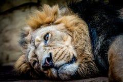 食肉动物的亚洲狮子 图库摄影