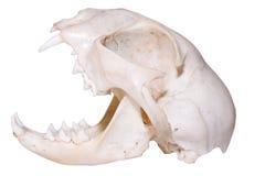 食肉动物的头骨 库存照片