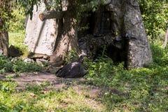 食肉动物的灰黑色雕 库存照片