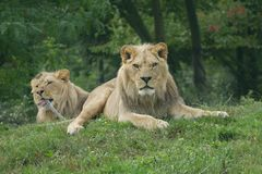 食肉动物的神色狮子 免版税库存图片
