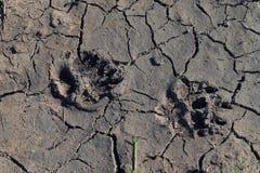 食肉动物的脚印 免版税图库摄影