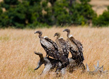 食肉动物的鸟坐地面 肯尼亚 坦桑尼亚 免版税库存图片