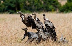 食肉动物的鸟坐地面 肯尼亚 坦桑尼亚 库存照片