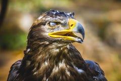 食肉动物,皇家老鹰,与美丽的全身羽毛bro的顶头细节 库存图片
