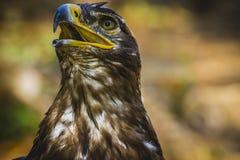 食肉动物,皇家老鹰,与美丽的全身羽毛bro的顶头细节 库存照片