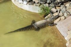食肉动物 鳄鱼爬出水和取暖 图库摄影