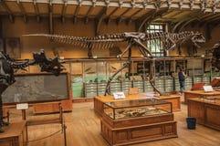 食肉恐龙化石在古生物学和比较解剖学画廊的在巴黎 库存照片