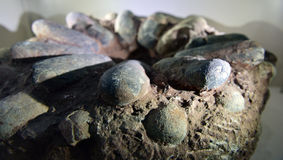食肉恐龙蛋化石 免版税库存照片