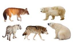 食肉目哺乳动物。 查出在白色 图库摄影