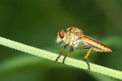 食虫虻 库存照片