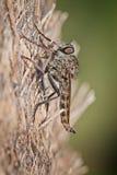 食虫虻 库存图片