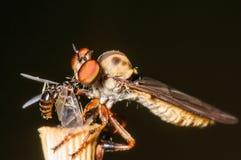 食虫虻栖息与膳食 免版税库存图片