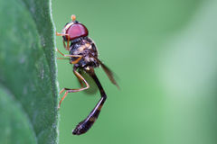 食虫虻 免版税库存照片