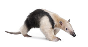 食蚁兽抓住衣领口tamandua tetradactyla 图库摄影