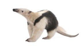 食蚁兽抓住衣领口tamandua tetradactyla 库存照片