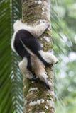 食蚁兽,北Tamandua 免版税图库摄影