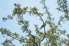 食蜂鸟坐树 免版税库存照片