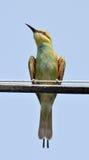 食蜂鸟姿势 库存照片