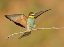 食蜂鸟属apiaster 免版税库存照片