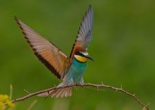 食蜂鸟属apiaster 图库摄影
