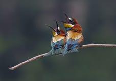 食蜂鸟属apiaster 免版税库存图片