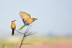 食蜂鸟朝向白色 免版税库存图片