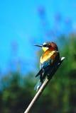 食蜂鸟欧洲 免版税库存照片