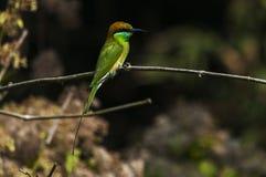 食蜂鸟等待的狩猎 免版税库存照片