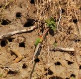 食蜂鸟红喉刺莺的白色 库存照片