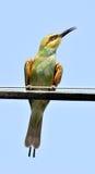 食蜂鸟绿色 免版税图库摄影