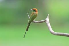 食蜂鸟绿色 免版税库存照片