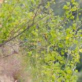 食蜂鸟群  库存照片