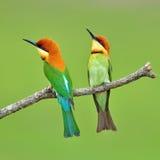 食蜂鸟鸟 免版税图库摄影